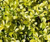 greenbushsm