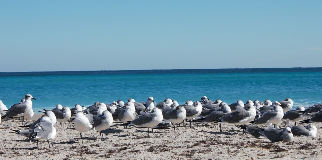 Gulls79SM