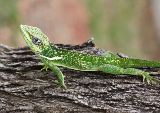 lizard4sm